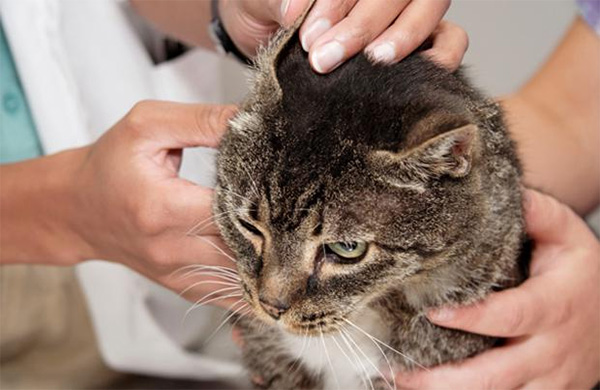 Симптомы отодектоза у кошек - потряхивает головой